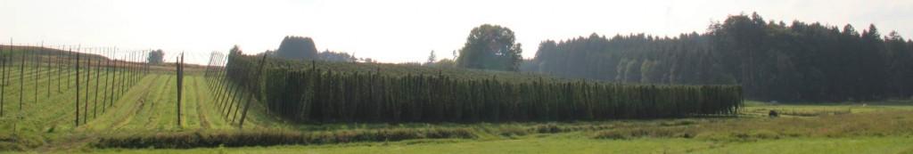 Hopfengarten während der Hopfenzupf. Der linke Garten ist schon geerntet.